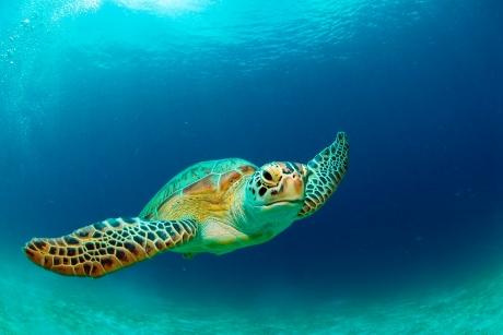 Grüne Meeresschildkröte, Suppenschildkröte, Chelonia mydas, G