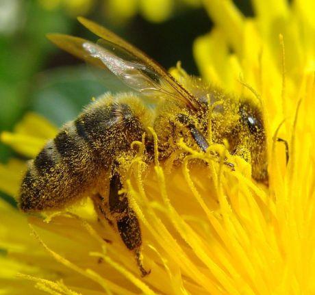 bee-by-wikimedia