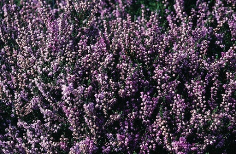 heather-flower-1.jpg