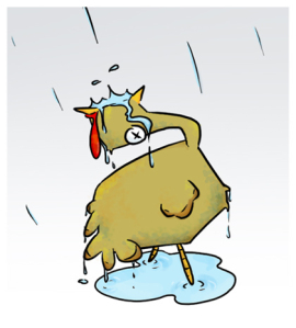 turkeys-can-drown-if-they-look-up-in-the-rain