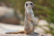 mg-meerkat