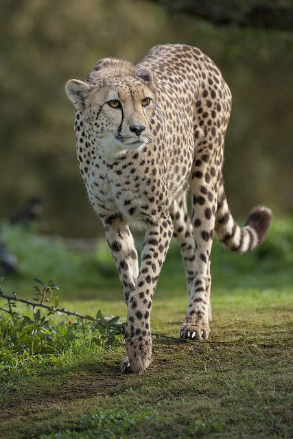 cheetah2pantera