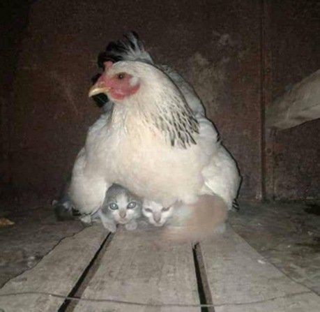 chickenmother