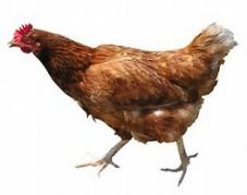 chickenwalking