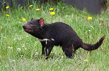 Tasmanian-Devil2