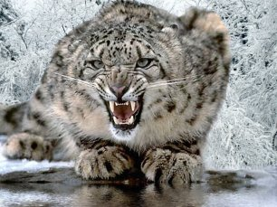 angry-snow-leopard
