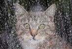 A cat sits behind a rain covered window and watches the outside world on a rainy day in Berlin, Germany, Friday, May 31, 2013. (AP Photo/dpa, Wolfgang Kumm)