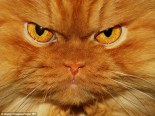 AngryCat2