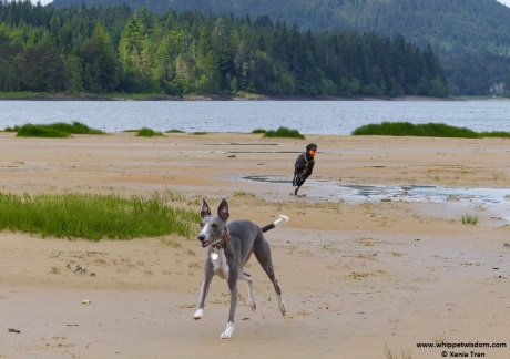 two whippets playing on the beach at loch side