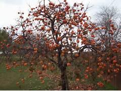 Persimmon-tree2